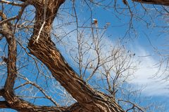Bosque del Apache New Mexico, deeply furrowed cottonwood branches in winter against a blue sky. Horizontal aspect royalty free stock images