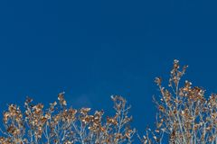 Bosque del Apache New Mexico, dried leaves in treetops set against a brilliant blue sky royalty free stock images