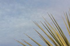 Bosque del Apache New Mexico, fanned leaves of desert yucca against a blue sky with clouds royalty free stock image