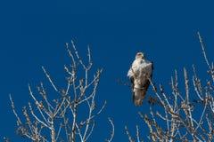 Bosque del Apache New Mexico, Ferruginous Hawk Buteo regalis against a brilliant blue sky, bare winter branches. Horizontal aspect stock images