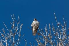 Bosque del Apache New Mexico, Ferruginous Hawk Buteo regalis on a bare cottonwood branch against a deep blue sky royalty free stock images