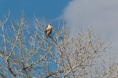 Bosque del Apache New Mexico, Ferruginous Hawk Buteo regalis looking out from top of bare cottonwood tree, winter. Horizontal aspect royalty free stock photos