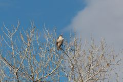 Bosque del Apache New Mexico, Ferruginous Hawk Buteo regalis in top branches of a cottonwood tree, winter. Horizontal aspect royalty free stock image