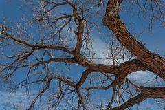 Bosque del Apache New Mexico, gnarley bare cottonwood branches against a vivid blue sky stock images