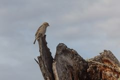 Bosque del Apache New Mexico, house sparrow Passer domesticus perched on a dead tree log. Horizontal aspect stock photos