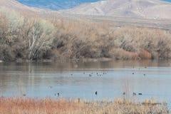 Bosque del Apache New Mexico, Mallard ducks in a lake on a winter day. Horizontal aspect stock photo