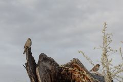 Bosque del Apache New Mexico, pair of house sparrows Passer domesticus on a dead tree log stock photos