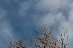 Bosque del Apache New Mexico, red winged blackbirds in bare treetops. Horizontal aspect stock image