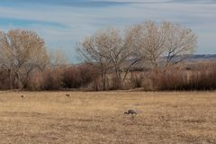 Bosque del Apache New Mexico, Sandhill cranes Antigone canadensis in field before cottonwoods and tall grasses royalty free stock image