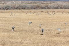 Bosque del Apache New Mexico, Sandhill cranes Antigone canadensis flock feeding in open field, eary morning winter. Horizontal aspect royalty free stock photography