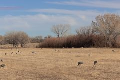 Bosque del Apache New Mexico, Sandhill cranes Antigone canadensis flock spread out in open fields, early morning winter. Horizontal aspect stock photo