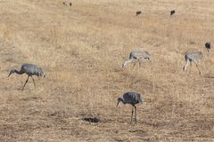 Bosque del Apache New Mexico, Sandhill cranes Antigone canadensis gleaning open fields, winter. Horizontal aspect royalty free stock images