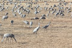 Bosque del Apache New Mexico, Sandhill cranes Antigone canadensis large flock in open fields, early morning winter. Horizontal aspect royalty free stock images