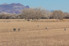 Bosque del Apache New Mexico, Sandhill cranes Antigone canadensis in open fields in winter. Horizontal aspect royalty free stock photography