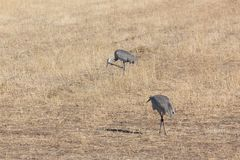 Bosque del Apache New Mexico, Sandhill cranes Antigone canadensis pair in open field, early morning. Horizontal aspect royalty free stock photo