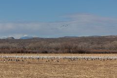Bosque del Apache New Mexico, Sandhill cranes Antigone canadensis and Snow geese Anser caerulescens in open field, early morning w. Inter, horizontal aspect stock image