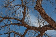 Bosque del Apache New Mexico, twisted cottonwood branches against a bright blue sky. Horizontal aspect royalty free stock photography