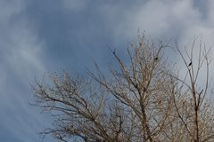 Bosque del Apache New Mexico, winter treetops with blackbirds against blue sky stock photography