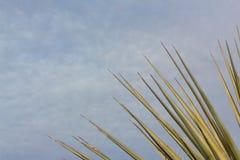 Bosque del Apache Nouveau Mexique, a éventé des feuilles de yucca de désert contre un ciel bleu avec des nuages image libre de droits