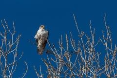 Bosque del Apache Nouveau Mexique, regalis ferrugineux de Hawk Buteo, le soleil tôt contre un ciel bleu vif photos stock
