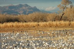 Bosque Del Apache NWR stock photography