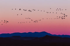 Bosque del Apache Snow Geese Sunrise Royalty Free Stock Image