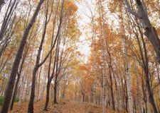 Bosque del arce Fotografía de archivo libre de regalías