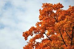 Bosque del arce rojo de la caída en Fulda, Hesse Fotos de archivo libres de regalías