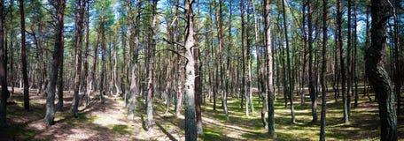 Bosque del baile, escupitajo de Curonian, región Rusia de Kaliningrado Foto de archivo