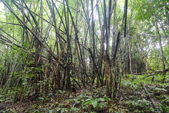 Bosque del bambú de la degradación fotografía de archivo