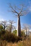 Bosque del baobab Imágenes de archivo libres de regalías