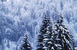 Bosque del Blackwood Foto de archivo libre de regalías