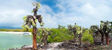 Bosque del cactus de la Opuntia Imagen de archivo
