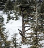 Bosque del cedro en L?bano durante invierno imagen de archivo libre de regalías