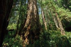 Bosque del Estado de la secoya Imágenes de archivo libres de regalías