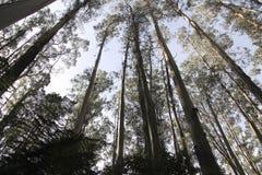 Bosque del eucalipto en el Mak de la KOH Imagen de archivo