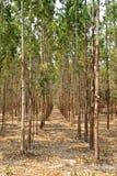 Bosque del eucalipto en Tailandia Fotos de archivo libres de regalías