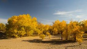 Bosque del euphratica del Populus en postre Fotografía de archivo
