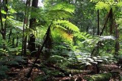 Bosque del helecho de árbol Fotografía de archivo libre de regalías