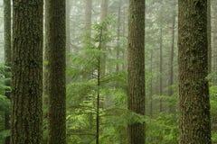 Bosque del Hemlock occidental (heterophylla del Tsuga) imágenes de archivo libres de regalías