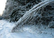 Bosque del invierno. Fotografía de archivo libre de regalías