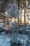 Bosque del invierno Imagenes de archivo