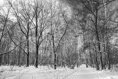 Bosque del invierno (blanco y negro) Fotos de archivo libres de regalías