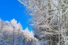 Bosque del invierno con la opinión majestuosa de los árboles congelados Invierno en naturaleza Fotos de archivo