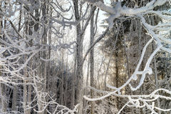 Bosque del invierno con la opinión majestuosa de los árboles congelados Invierno en naturaleza Imagen de archivo libre de regalías