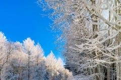 Bosque del invierno con la opinión majestuosa de los árboles congelados Invierno en naturaleza Foto de archivo libre de regalías