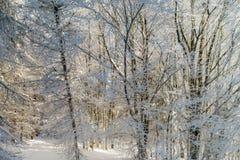 Bosque del invierno con la opinión majestuosa de los árboles congelados Invierno en naturaleza Foto de archivo