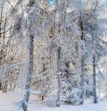 Bosque del invierno con la opinión majestuosa de los árboles congelados Invierno en naturaleza Imágenes de archivo libres de regalías