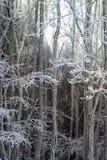 Bosque del invierno con la opinión majestuosa de los árboles congelados Invierno en naturaleza Imagen de archivo