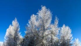 Bosque del invierno con la opinión majestuosa de los árboles congelados Invierno en naturaleza Escena hivernal pintoresca y magní Imágenes de archivo libres de regalías